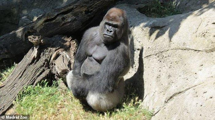 Malabo, gorila yang menyerang petugas kebun binatang