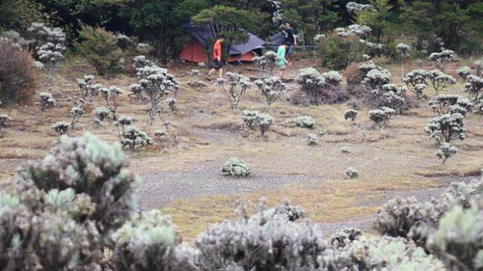 Hamparan tanaman edelweis di Lembah Mandalawangi Gunung Pangrango, Jawa Barat, Minggu (6/12/2015).