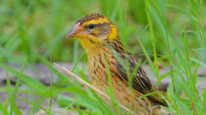 Fakta Unik Burung Manyar Ada Yang Bangun Sarang Dengan Berat Hampir 1 Ton Tribun Travel