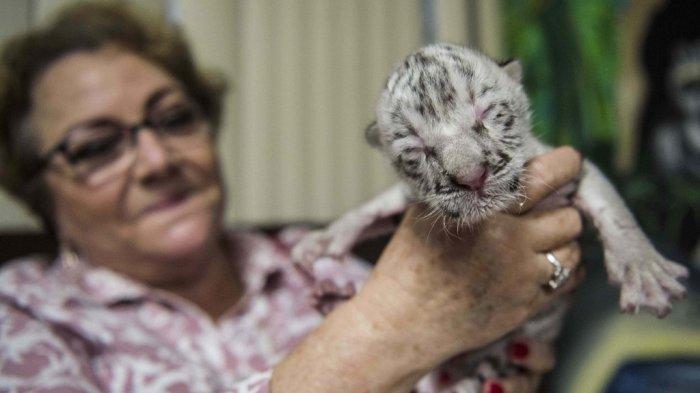 Marina Arguello merawat harimau putih langka yang baru lahir bernama Snow di Kebun Binatang Nasional di Masaya, Nikaragua, pada 5 Januari 2021.