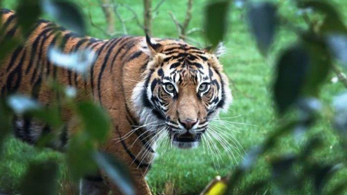 Niat Dikawinkan, Melati Justru Diterkam Sang Pejantan Hingga Tewas di Kebun Binatang London