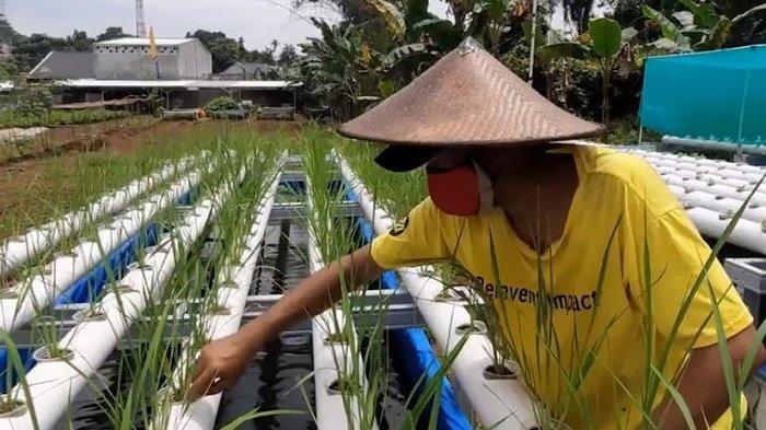 TRAVEL UPDATE: Menanam Padi dengan Sistem Hidroponik, Cara Unik Isi Waktu Luang di Masa Pandemi