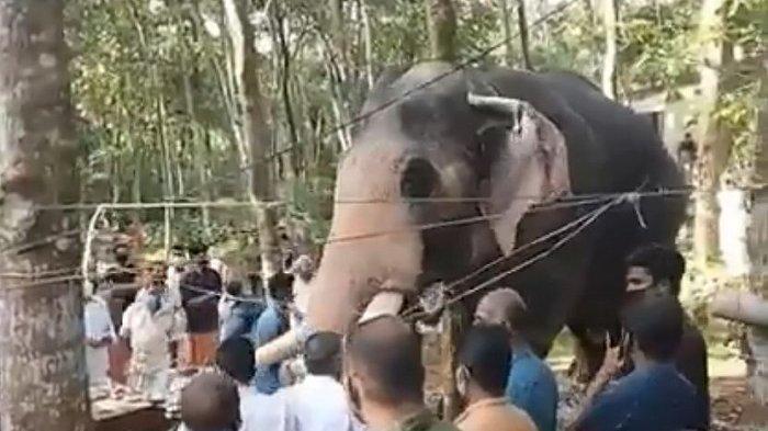 Video Viral, Momen Mengharukan Seekor Gajah Beri Penghormatan Terakhir pada Pawangnya