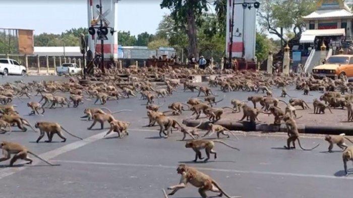 Meresahkan Warga Lokal, Ratusan Monyet Liar di Thailand Dikebiri