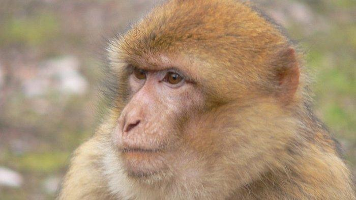 Terinfeksi Virus Langka Setelah Bedah 2 Monyet, Peneliti di China Tewas