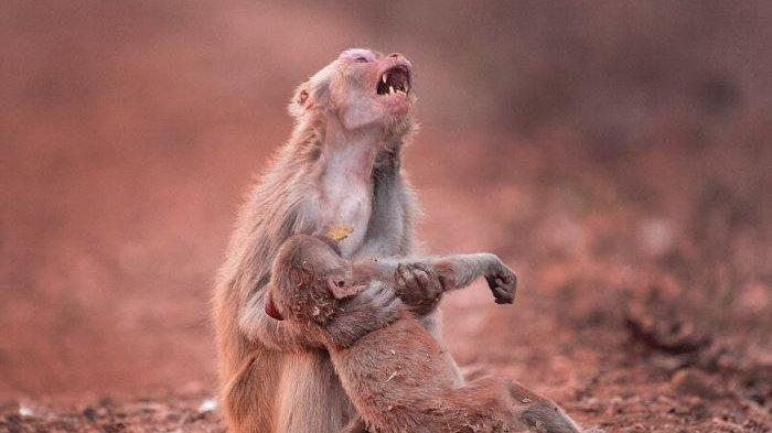 Sekilas, Foto Monyet Peluk Anaknya yang 'Mati' Ini Menyayat Hati, Faktanya Malah Bikin Ngakak