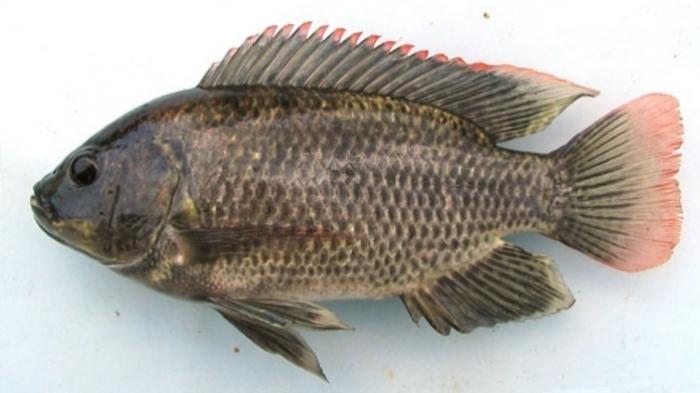 5 Fakta Mengejutkan Mujair Yang Buatmu Pikir Ulang Sebelum Makan Ikan Ini Lagi No 4 Menjijikkan Tribun Travel
