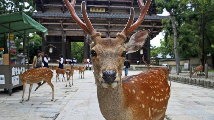 Wisatawan Harus Perhatikan Aturan Ini Sebelum Bertemu Rusa di Taman Nara, Jepang
