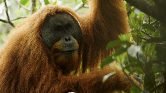 Orangutan Dewasa Masuk Permukiman Warga di Kalimantan Timur, Videonya Viral di Medsos