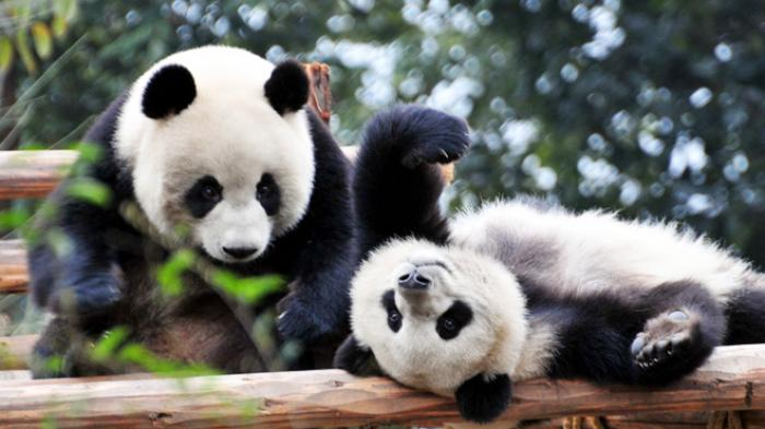 Lahir dan Besar di Jepang, 3 Panda Raksasa Akhirnya Dikembalikan ke Habitat Aslinya