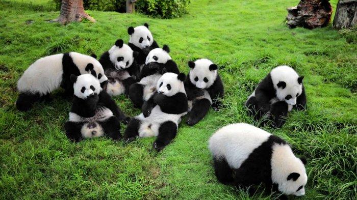 Imut Dan Menggemaskan Inikah Alasan Manusia Gemas Terhadap Panda