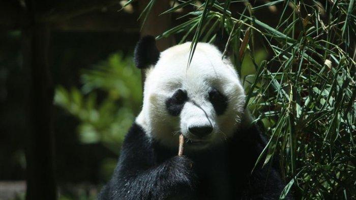 Seekor panda (Ailuropada melanoleuca) asal China diperlihatkan seusai proses karantina di Istana Panda Indonesia, Taman Safari Indonesia Bogor, Jawa Barat, Rabu (1/11/2017).