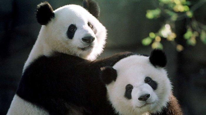 Haha! Panda Ini Jatuh Saat Sepasang Temannya 'Bermesraan,' Lihat yang Terjadi Selanjutnya, Kocak