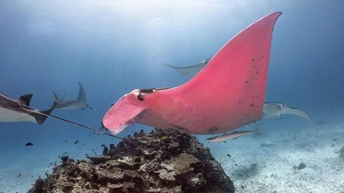 Viral di Medsos, Pari Manta Merah Muda Terlihat di Great Barrier Reef, Australia