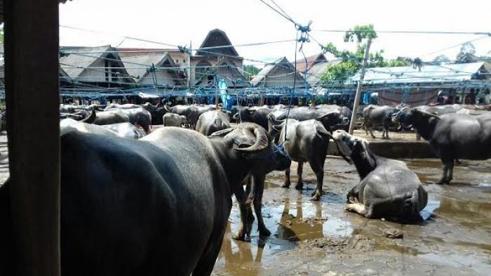 Fakta Unik Tedong, Kerbau yang Menjadi Bagian Penting dalam Tradisi Masyarakat Toraja