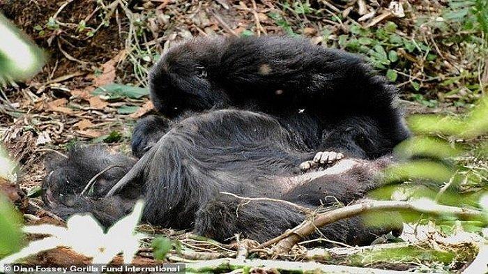 Peneliti: Gorila Ternyata Juga Merawat Mayat dan Berduka Seperti Manusia saat Anggotanya Meninggal