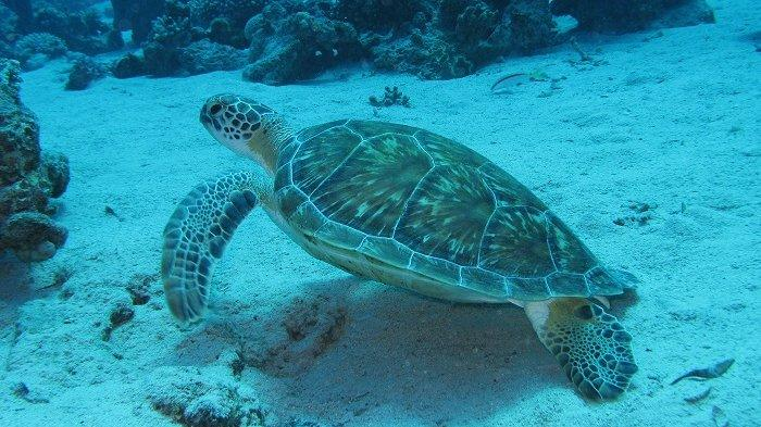 Mayones Ternyata Bisa Selamatkan Penyu Laut yang Terancam Punah, Kok Bisa?