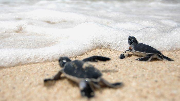Ditutupnya Sejumlah Pantai di Seluruh Dunia, Apakah Aman Bagi Kelangsungan Hidup Penyu?