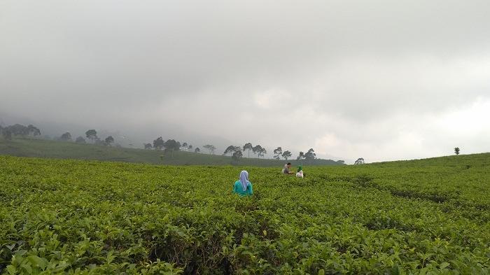 Jelajah Wisata Gunung di Bogor, Cobain Sensasi Tea Walk di 5 Kebun Teh Populer Ini
