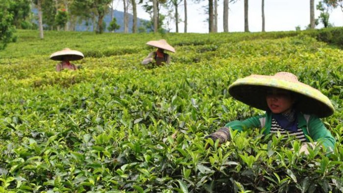 Petani teh sedang memetik daun teh di areal Kebun Teh, Puncak, Bogor, Jawa Barat. Kian hari, areal pertanian di kawasan Puncak kian menyempit, akibat perluasan sejumlah bangunan komersiil yang tak memperdulikan kajian lingkungan. Hal ini berdampak pada kehidupan ekonomi para petani di kawasan tersebut. K97-14