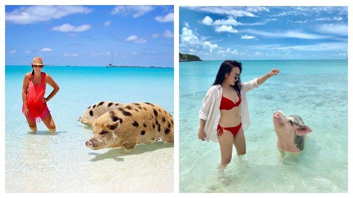 Pig Island, Pantai Cantik di Bahama dengan Babi-babi yang Piawai Berenang