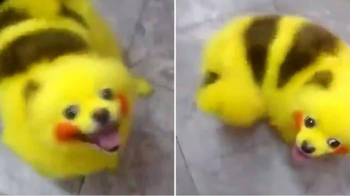 Pikachu - Lucu atau Kejam? Anjing Ini Didandani Mirip Monster Pokemon
