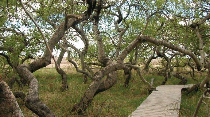 Menguak Misteri Dibalik Asal Keberadaan Pohon Bengkok di Hafford, Benarkah Gara-gara Ulah Alien?
