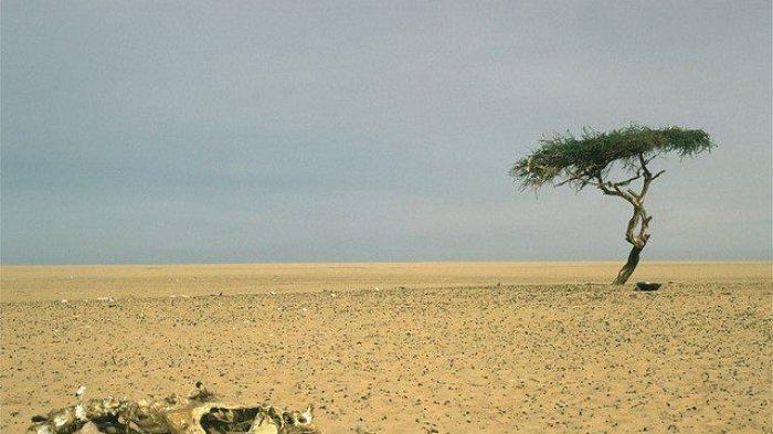 Fakta Unik Terene, Pohon Paling Terisolasi di Dunia yang Tumbuh di Gurun Sahara