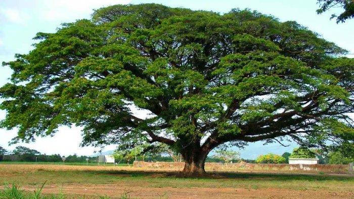 Hidup Ratusan Tahun, Pohon Asli Amerika yang Teteskan Air Bak Hujan Ini Saksi Perjuangan Bangsa