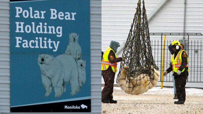 Polar Bear Holding Facility, penjara khusus beruang kutub di Kanada. Beruang dalam foto ini baru saja selesai menjalani hukuman penjara. Dibius untuk kemudian dikembalikan ke alam bebas.