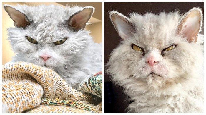 Melihat Pompous Albert, Kucing yang Tampak Selalu Marah Namun Populer di Instagram