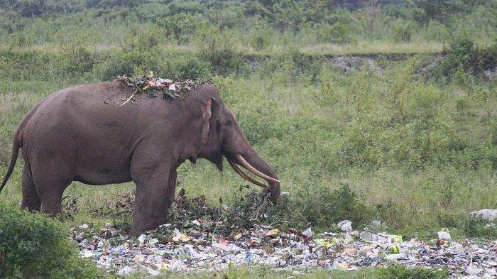 Miris! Seekor Gajah Kelaparan Makan Sampah Plastik yang Dibuang Turis