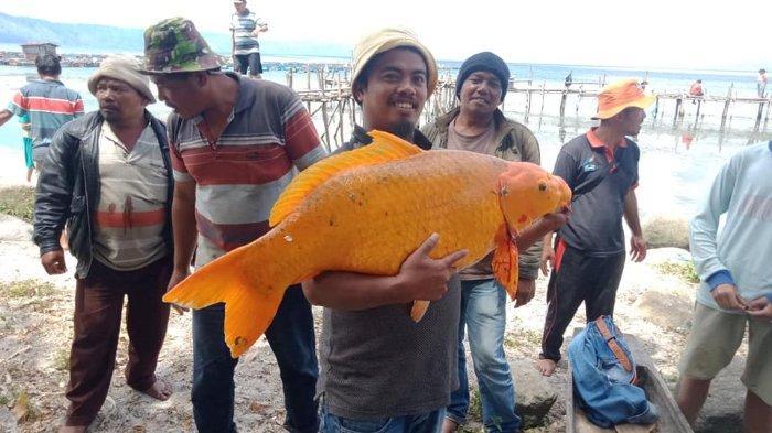 Viral di Medsos, Seorang Pria Tangkap Ikan Mas Seberat 15 Kilogram di Danau Toba