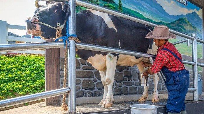 Proses perah susu sapi di Cimory Dairyland Prigen
