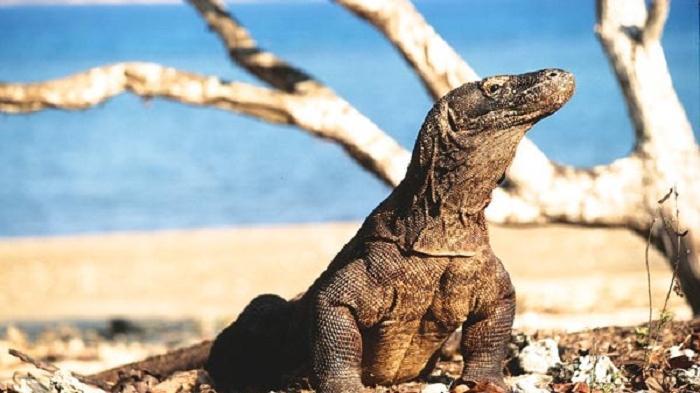 Pernyataan Gubernur NTT tentang Komodo Jadi Polemik, Ini 6 Tips Berkunjung ke Pulau Komodo