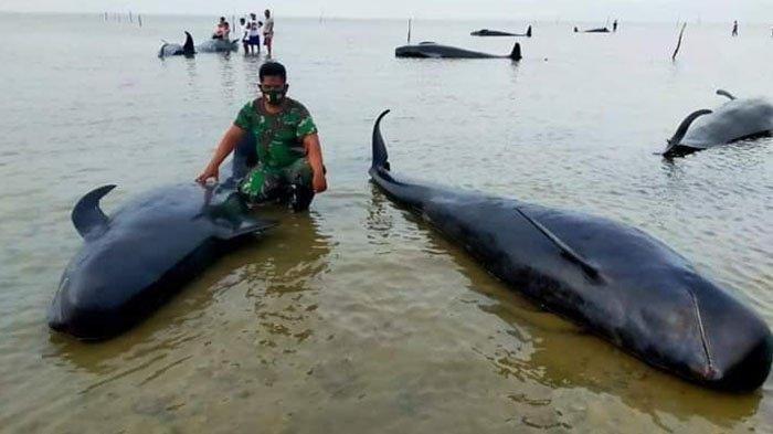 52 Ikan Paus Terdampar di Pantai Bangkalan Madura, BKSDA Sebut Fenomena Langka