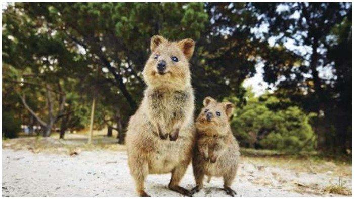 Fakta Unik Quokka, Mamalia Berkantung dari Australia yang Dijuluki Hewan Paling Bahagia di Dunia
