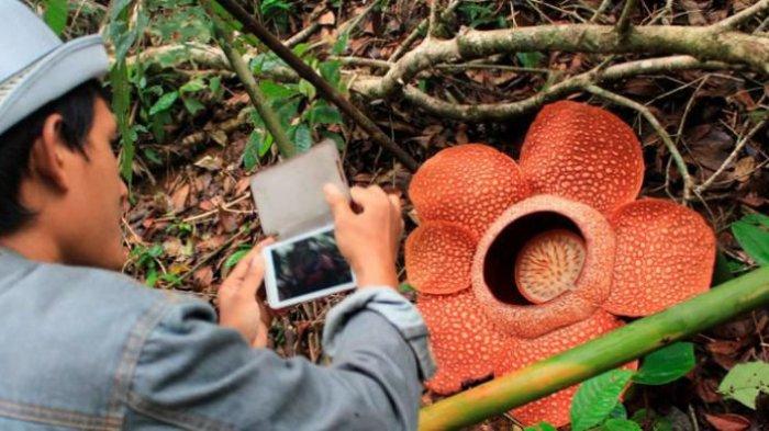 5 Fakta Unik Rafflesia Arnoldii, Bunga Terbesar di Dunia yang Tumbuh di Indonesia
