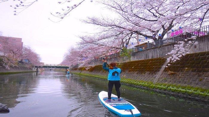 Melihat Sakura Sambil Mendayung di Atas Papan Selancar, Cara Unik Hanami di Jepang Tahun Ini