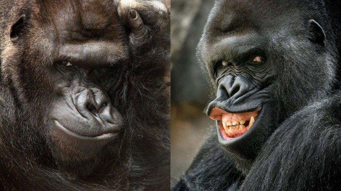 Gorila Ini Selalu Pasang Pose 'Manis' Saat Akan Difoto, Lihat Potretnya, Eksis Abis!