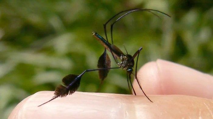 Fakta Unik Sabethes, Nyamuk Tercantik di Dunia yang Sangat Lincah