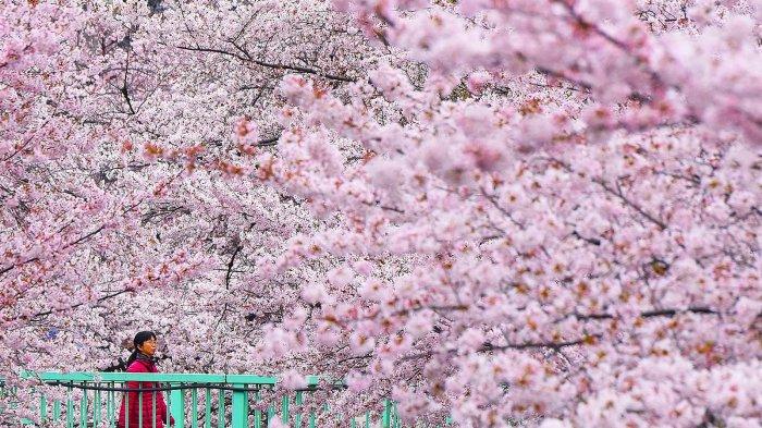 Tak Perlu ke Jepang, Inilah 5 Tempat untuk Melihat Bunga Sakura di Indonesia