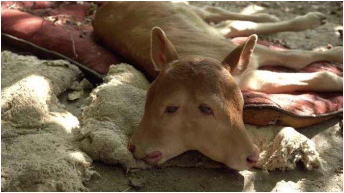 Dari Ular hingga Sapi, Ini Penemuan Hewan Berkepala Dua yang Hebohkan Masyarakat