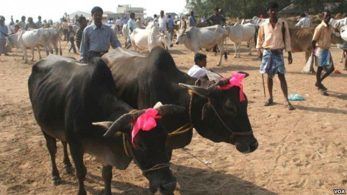 Tak Boleh Sembelih Sapi Karena Dianggap Suci, Bagaimana Cara Muslim di India Rayakan Idul Adha?