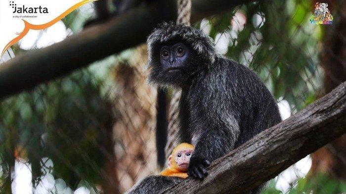 Buka Kembali Selasa, Berikut Harga Tiket Masuk Kebun Binatang Ragunan Selama Libur Lebaran 2021
