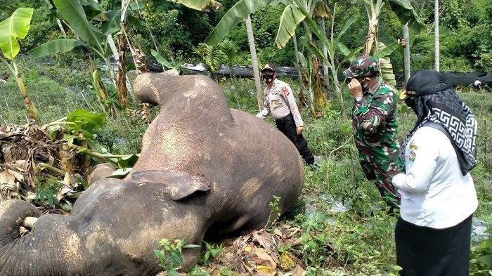 Kena Jerat Babi di Kebun Cabai Warga, Seekor Gajah Jantan Besar Ditemukan Mati