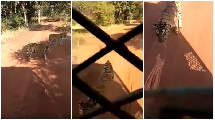 Viral di Medsos, Seekor Harimau Mengejar Bus Turis di Taman Safari