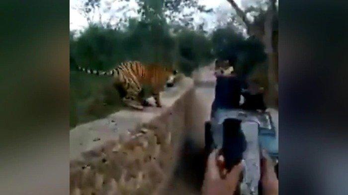 Sekelompok Turis Nekat Ambil Foto Harimau dari Dekat, Ini yang Terjadi Selanjutnya