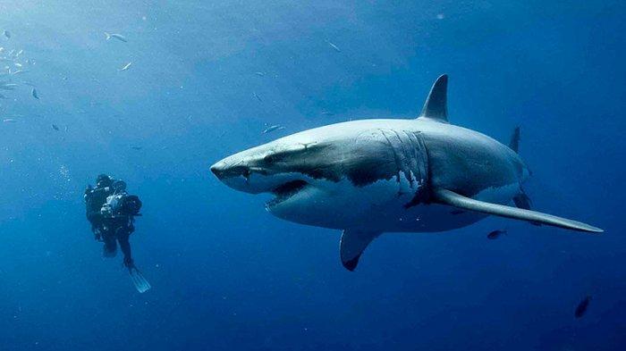 Dianggap Ganas Dan Suka Memangsa Manusia Inilah 7 Mitos Ikan Hiu