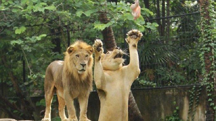 Kegiatan Wisata Seru Favorit Wisatawan di Bali Zoo Gianyar, Bisa Interaksi Lebih Dekat dengan Satwa